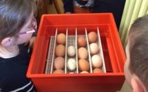 Un élevage de poussins dans la classe maternelle